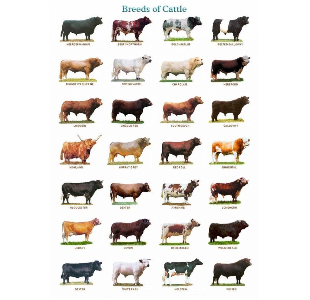 Evolusi dari semua jenis sapi